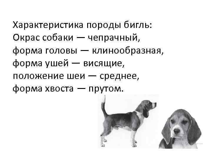 Характеристика породы бигль: Окрас собаки — чепрачный, форма головы — клинообразная, форма ушей —