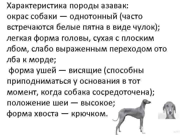 Характеристика породы азавак: окрас собаки — однотонный (часто встречаются белые пятна в виде чулок);