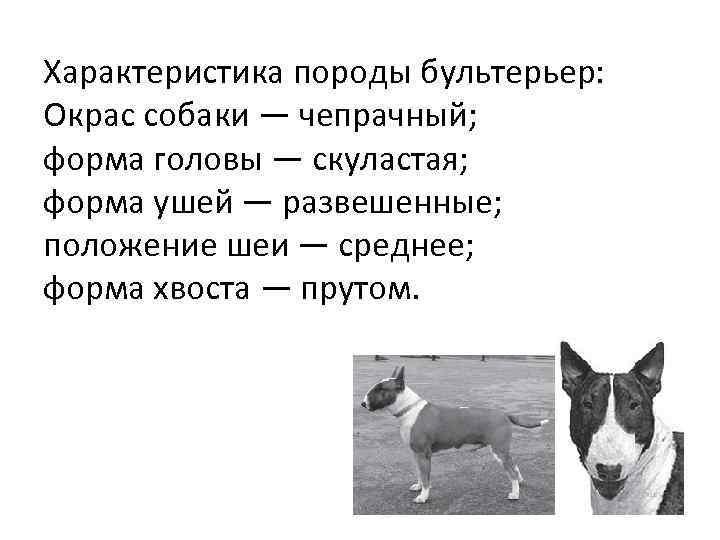 Характеристика породы бультерьер: Окрас собаки — чепрачный; форма головы — скуластая; форма ушей —