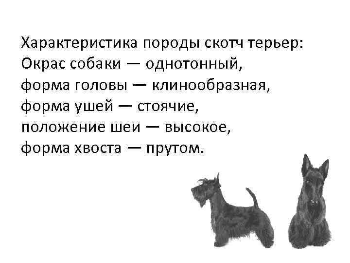 Характеристика породы скотч терьер: Окрас собаки — однотонный, форма головы — клинообразная, форма ушей