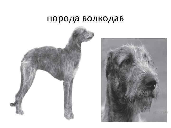 порода волкодав