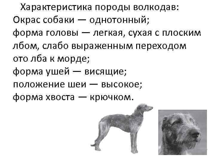 Характеристика породы волкодав: Окрас собаки — однотонный; форма головы — легкая, сухая с