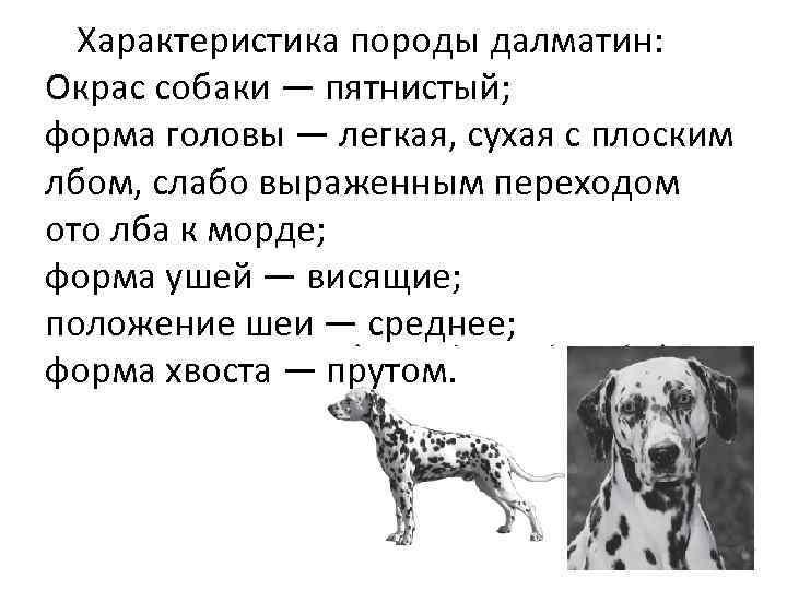 Характеристика породы далматин: Окрас собаки — пятнистый; форма головы — легкая, сухая с