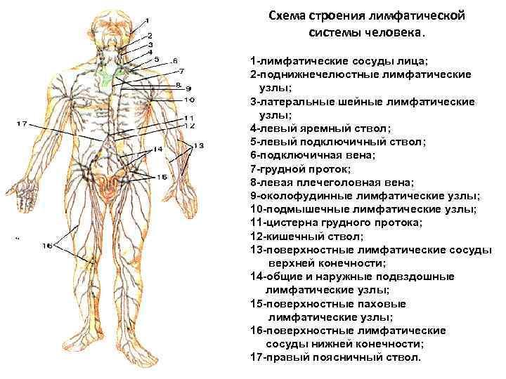 Схема строения лимфатической системы человека. 1 -лимфатические сосуды лица; 2 -поднижнечелюстные лимфатические узлы; 3