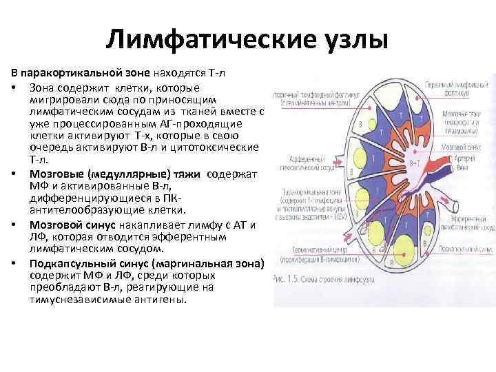 Лимфатические узлы В паракортикальной зоне находятся Т-л • Зона содержит клетки, которые мигрировали сюда