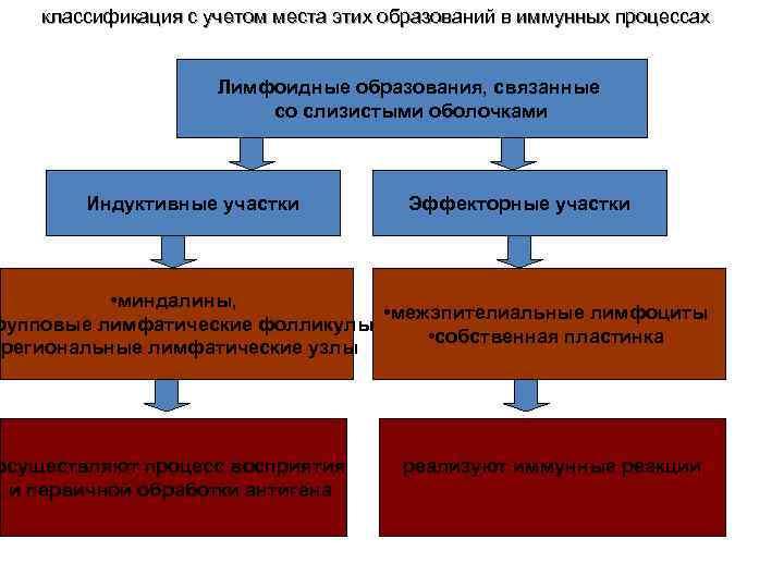 классификация с учетом места этих образований в иммунных процессах Лимфоидные образования, связанные со слизистыми