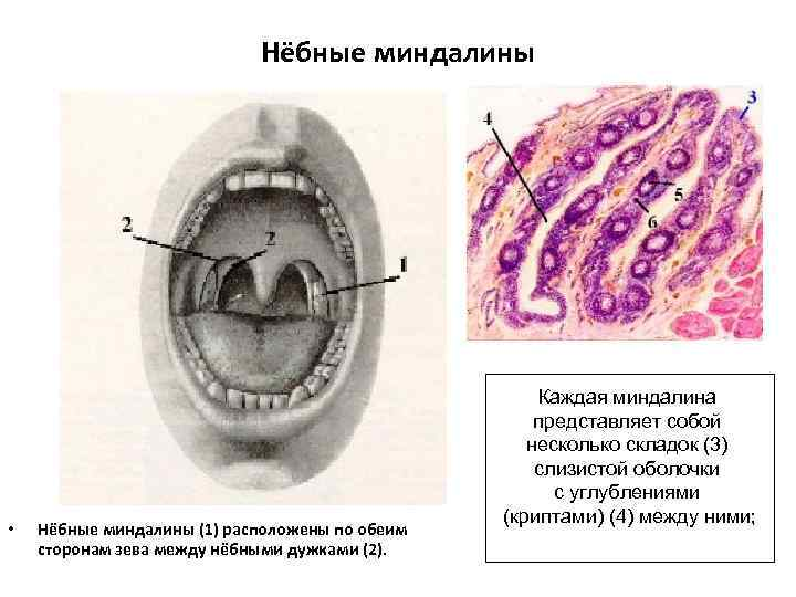 Нёбные миндалины • Нёбные миндалины (1) расположены по обеим сторонам зева между нёбными дужками