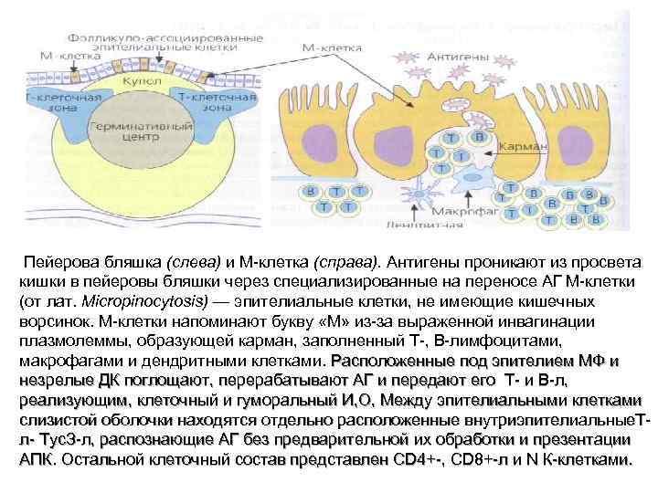 Пейерова бляшка (слева) и М-клетка (справа). Антигены проникают из просвета кишки в пейеровы бляшки