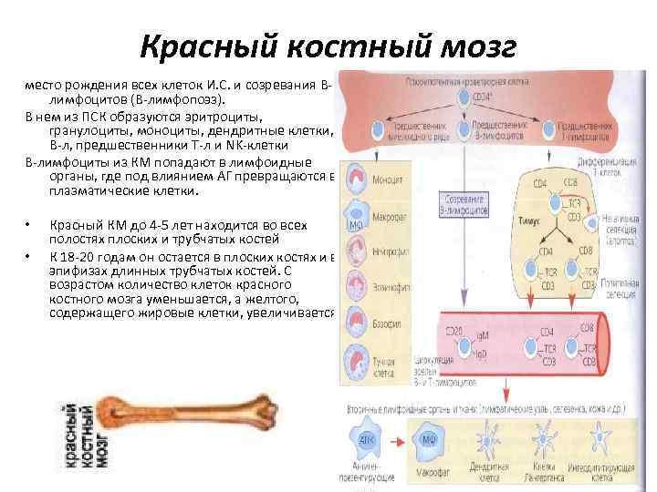 Красный костный мозг место рождения всех клеток И. С. и созревания Влимфоцитов (В-лимфопоэз). В