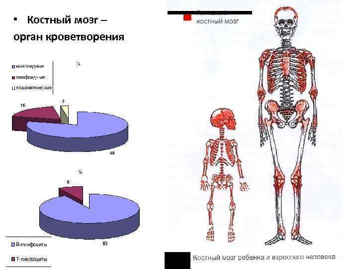 • Костный мозг – орган кроветворения