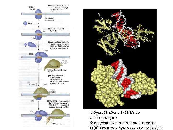 • Сборка комплекса инициации транскрипции у эукариот на последовательности ТАТА. Структура комплекса TATAсвязывающего