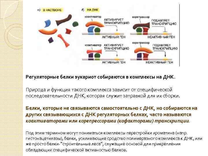 Регуляторные белки эукариот собираются в комплексы на ДНК. Природа и функция такого комплекса зависит