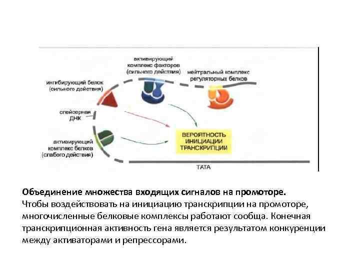 Объединение множества входящих сигналов на промоторе. Чтобы воздействовать на инициацию транскрипции на промоторе, многочисленные