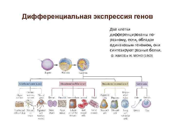 Дифференциальная экспрессия генов Две клетки дифференцированы поразному, если, обладая одинаковым геномом, они синтезируют разные