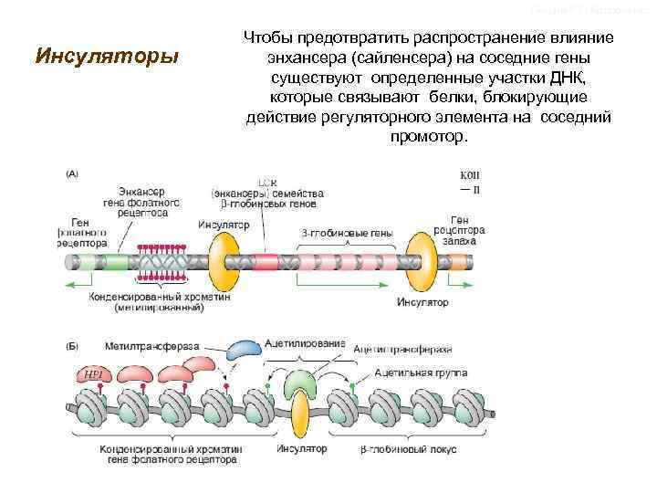 Лекции Р. П. Костюченко Инсуляторы Чтобы предотвратить распространение влияние энхансера (сайленсера) на соседние гены