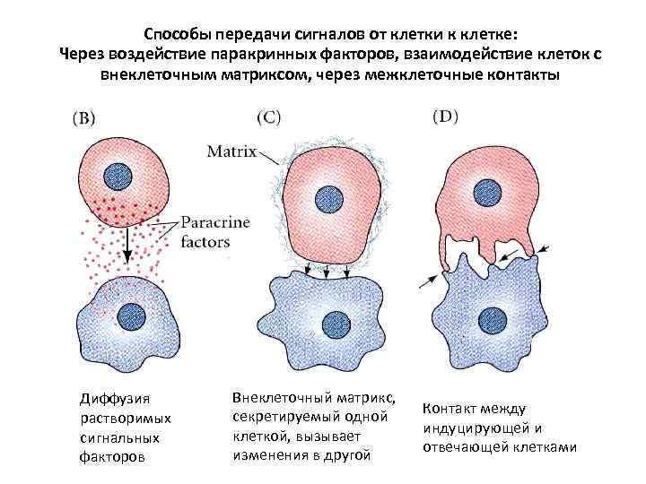 Способы передачи сигналов от клетки к клетке: Через воздействие паракринных факторов, взаимодействие клеток с