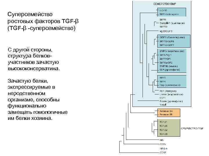 Ле Суперсемейство ростовых факторов TGF-β (TGF-β -суперсемейство) С другой стороны, структура белковучастников зачастую высококонсерватина.