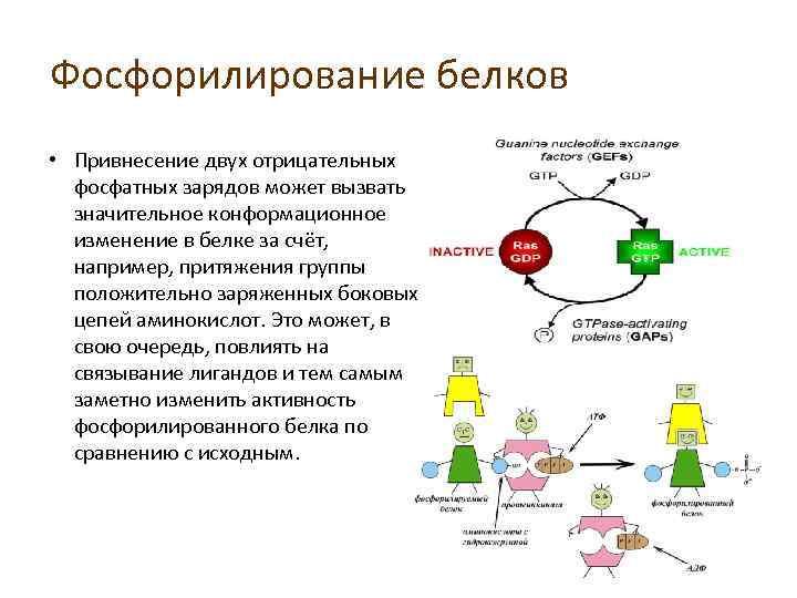 Фосфорилирование белков • Привнесение двух отрицательных фосфатных зарядов может вызвать значительное конформационное изменение в