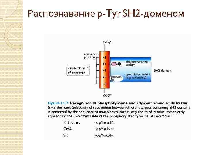 Распознавание p-Tyr SH 2 -доменом