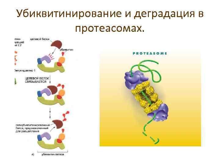 Убиквитинирование и деградация в протеасомах.