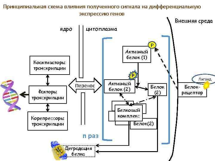 Принципиальная схема влияния полученного сигнала на дифференциальную экспрессию генов Внешняя среда ядро цитоплазма Активный