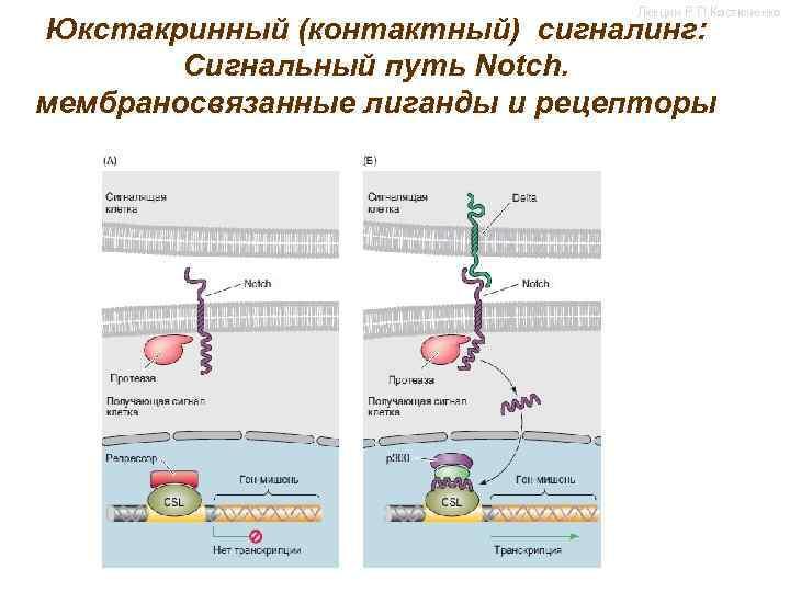 Лекции Р. П. Костюченко Юкстакринный (контактный) сигналинг: Сигнальный путь Notch. мембраносвязанные лиганды и рецепторы