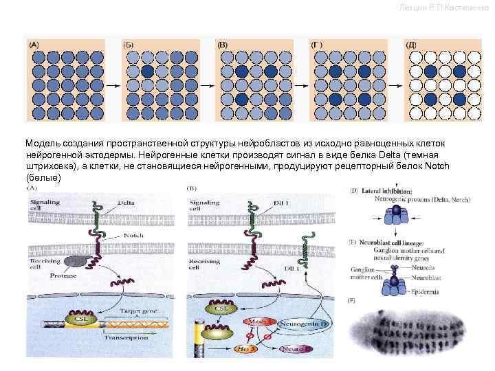 Лекции Р. П. Костюченко Модель создания пространственной структуры нейробластов из исходно равноценных клеток нейрогенной