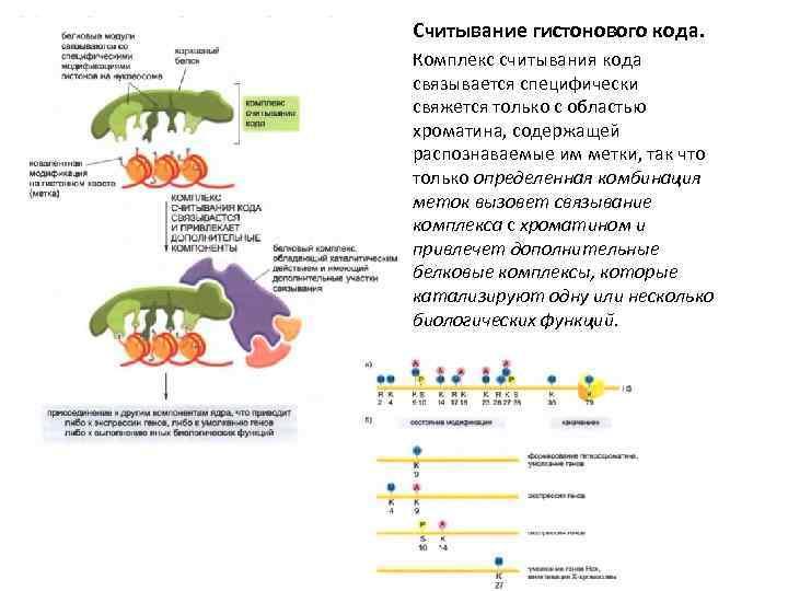 Считывание гистонового кода. Комплекс считывания кода связывается специфически свяжется только с областью хроматина, содержащей