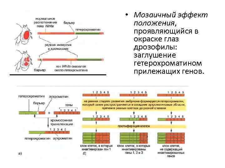 • Мозаичный эффект положения, проявляющийся в окраске глаз дрозофилы: заглушение гетерохроматином прилежащих генов.