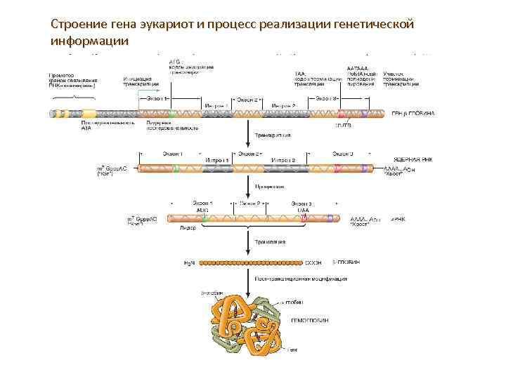 Строение гена эукариот и процесс реализации генетической информации
