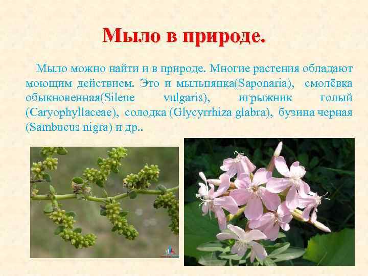 Мыло в природе. Мыло можно найти и в природе. Многие растения обладают моющим действием.
