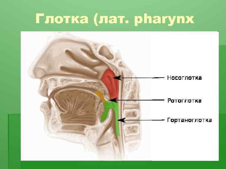 Глотка (лат. pharynx