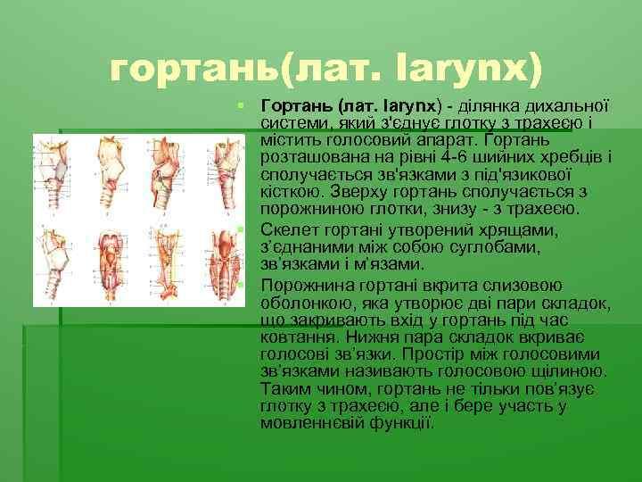 гортань(лат. larynx) § Гортань (лат. larynx) - ділянка дихальної системи, який з'єднує глотку з