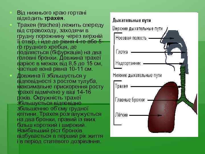 § Від нижнього краю гортані відходить трахея. § Трахея (trachea) лежить спереду від стравоходу,