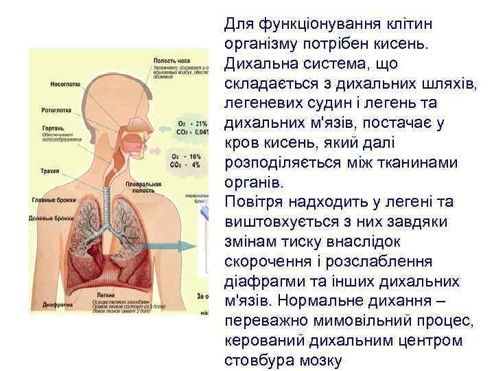 Для функціонування клітин організму потрібен кисень. Дихальна система, що складається з дихальних шляхів, легеневих