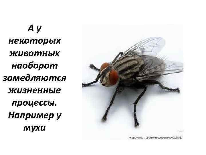 Ау некоторых животных наоборот замедляются жизненные процессы. Например у мухи