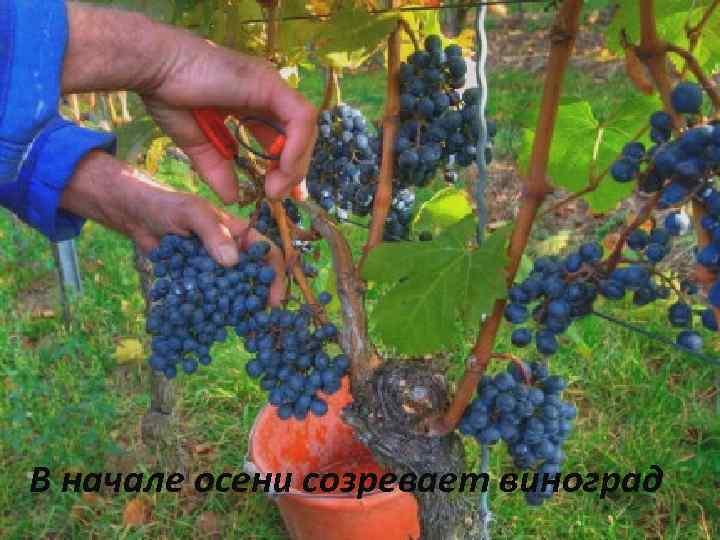 В начале осени созревает виноград