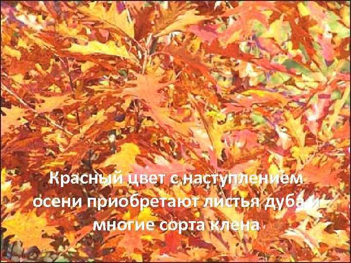 Красный цвет с наступлением осени приобретают листья дуба и многие сорта клена