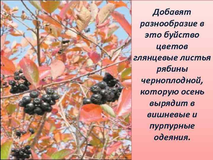 Добавят разнообразие в это буйство цветов глянцевые листья рябины черноплодной, которую осень вырядит в