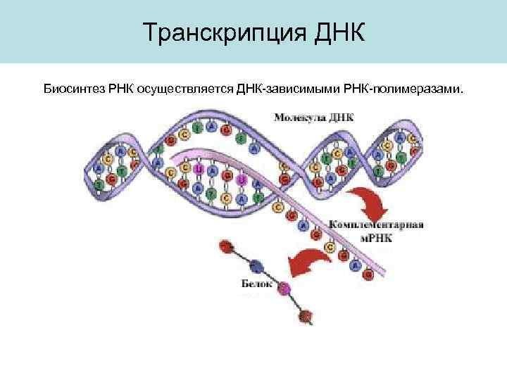 характеристика транскрипции биосинтез процессов трансляции гдз белка