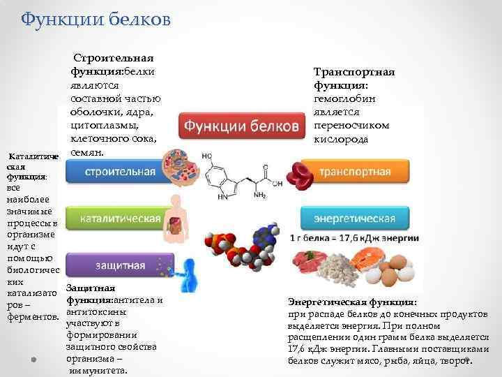 Функции белков Каталитиче ская функция: Строительная функция: белки являются составной частью оболочки, ядра, цитоплазмы,