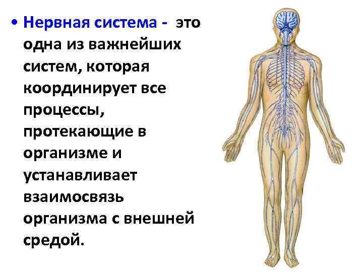 нервная система человека реферат картинки закончились