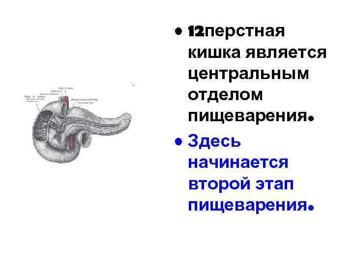 • 12 перстная кишка является центральным отделом пищеварения. • Здесь начинается второй этап