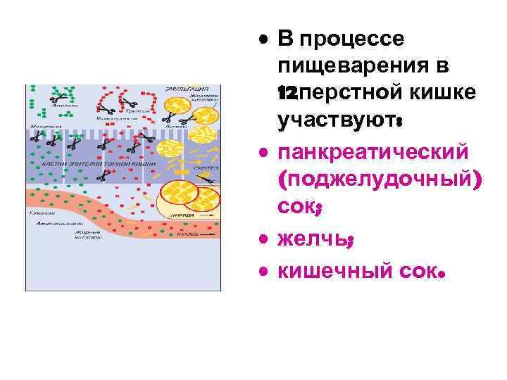 • В процессе пищеварения в 12 перстной кишке участвуют: • панкреатический (поджелудочный) сок;