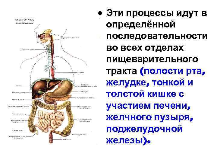 • Эти процессы идут в определённой последовательности во всех отделах пищеварительного тракта (полости