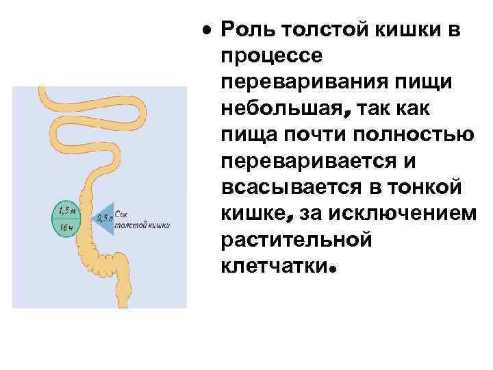 • Роль толстой кишки в процессе переваривания пищи небольшая, так как пища почти