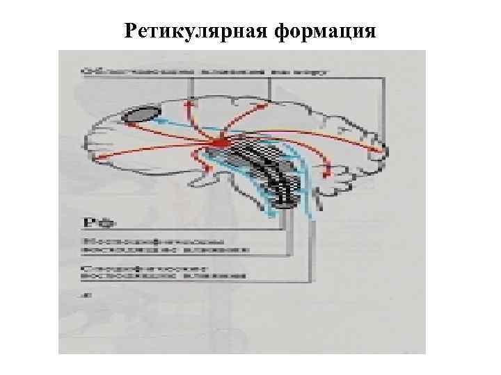 Ретикулярная формация