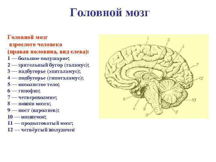 Головной мозг взрослого человека (правая половина, вид слева): 1 — большое полушарие; 2 —