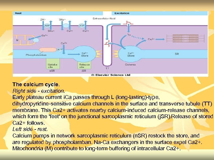 The calcium cycle. Right side - excitation. Early plateau current i. Ca passes through