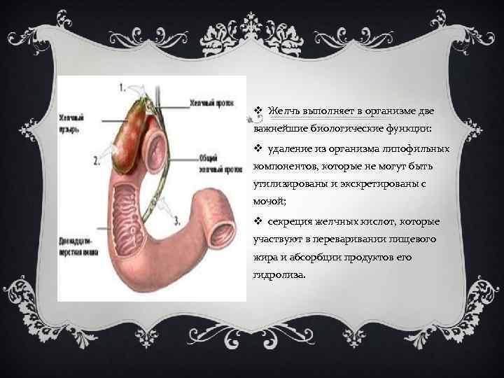 v Желчь выполняет в организме две важнейшие биологические функции: v удаление из организма липофильных